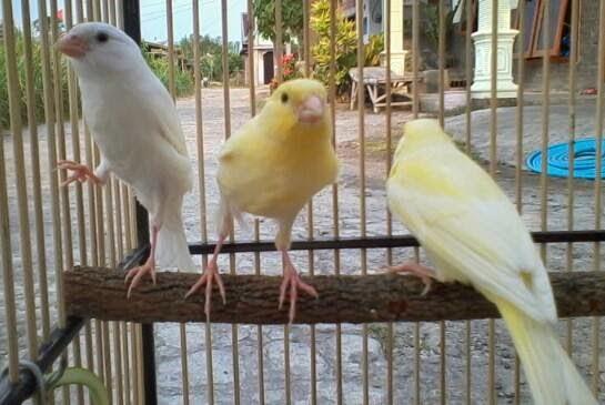 Mengenal Burung Kenari