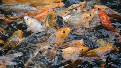 Budidaya Ikan Mas Di Kolam Terpal