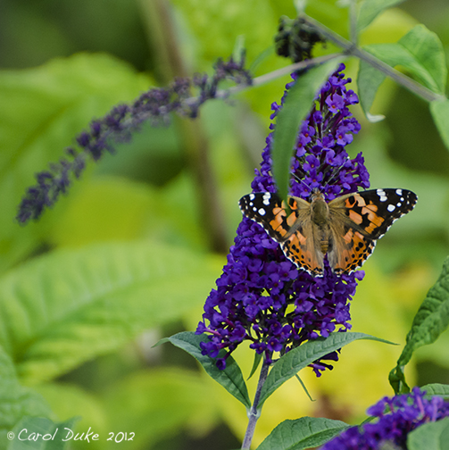 Painted Lady and American Lady Butterflies