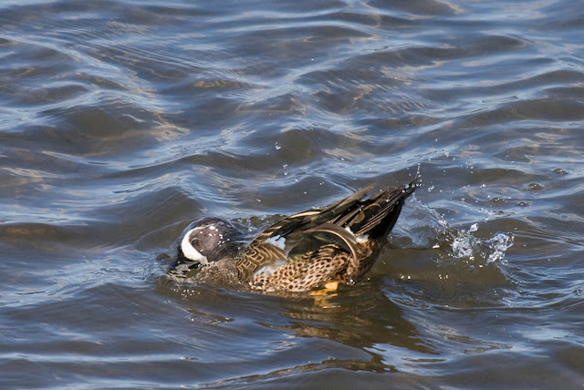 Blue-winged Teal taking a bath