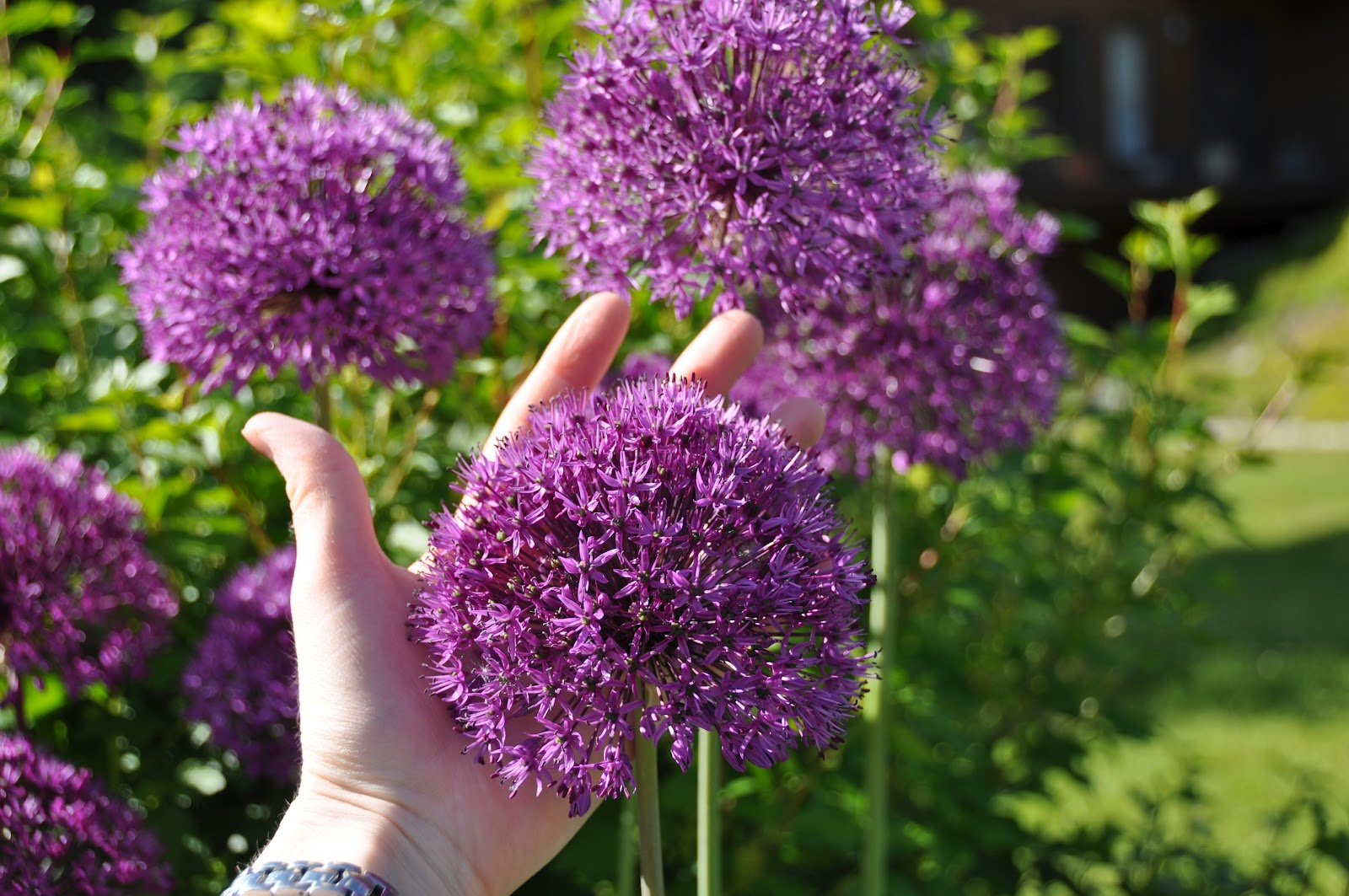 northern exposure gardening awesome alliums the ornamental onions. Black Bedroom Furniture Sets. Home Design Ideas