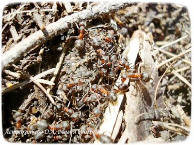 муравьи, муравейник, рыжие лесные муравьи