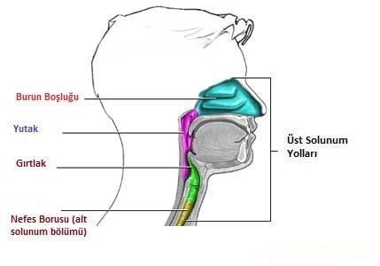 Üst Solunum Yolları ve Anatomisi