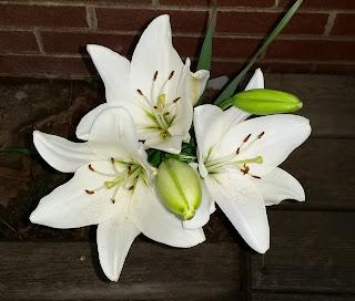White Stargazer Lilly 'Casa Blanca'