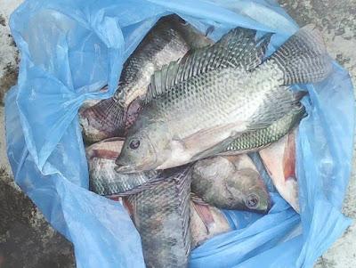 Umpan Mancing Ikan Nila Malam Hari