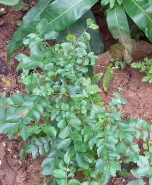 How to make curry leaves hair tonic