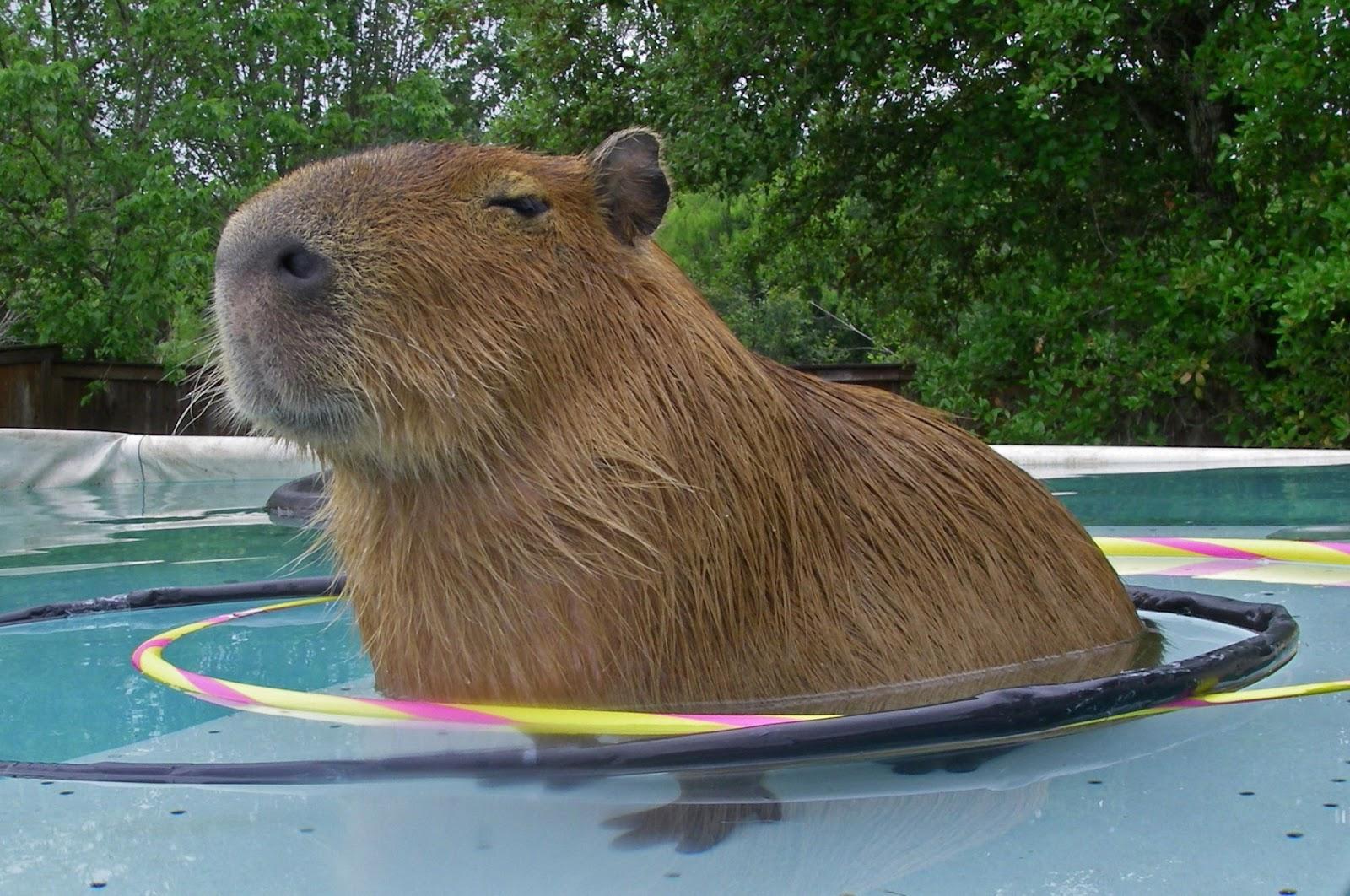 Hiya Heidi: Capybara