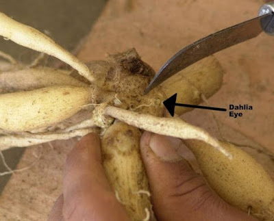 How to Plant Dahlias Flowers From Tubers
