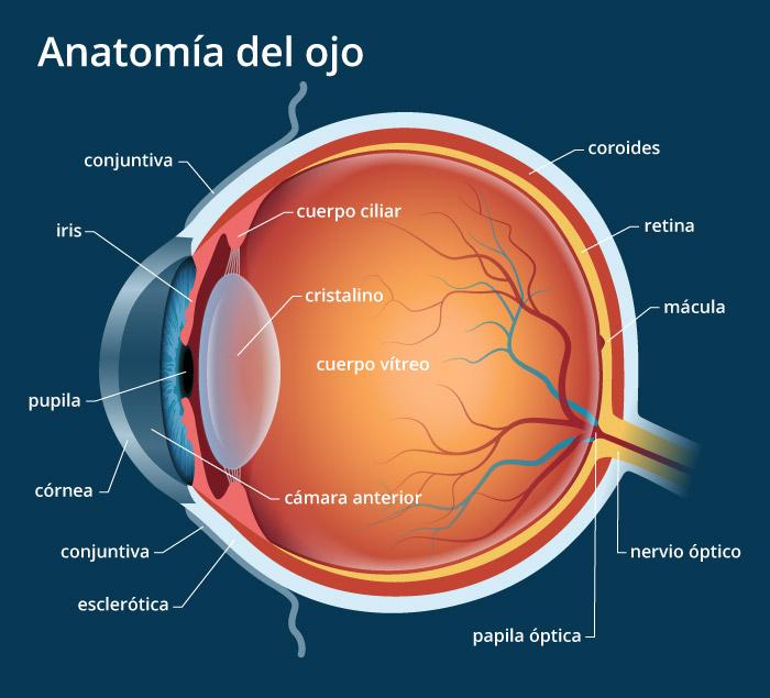 Indagando en la anatomía: Anatomía del ojo