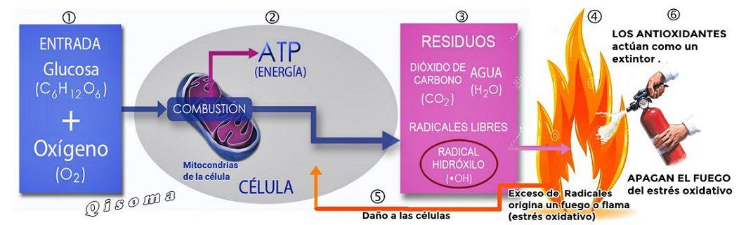 mitocondrias-y-radicales-libres