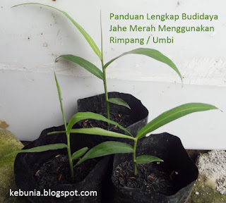 Panduan Lengkap Budidaya Jahe Merah Menggunakan Rimpang / Umbi