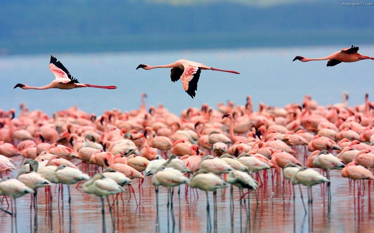 Desktop Wallpaper Of Cute Puppies Daniel Sierra Flamingo Birds Wallpapers Pink Birds