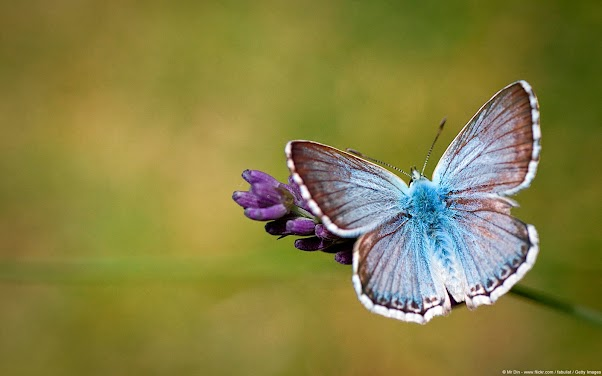 Provence Chalk-hill Blue Butterfly