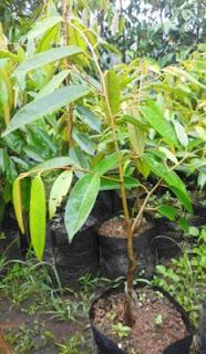 durian matahari, jual bibit durian matahari, ciri-ciri durian matahari, budidaya durian matahari, berkebun durian matahari, bertanam durian matahari menguntungkan