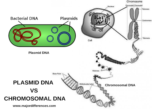 Difference between Chromosomal DNA and Plasmid DNA