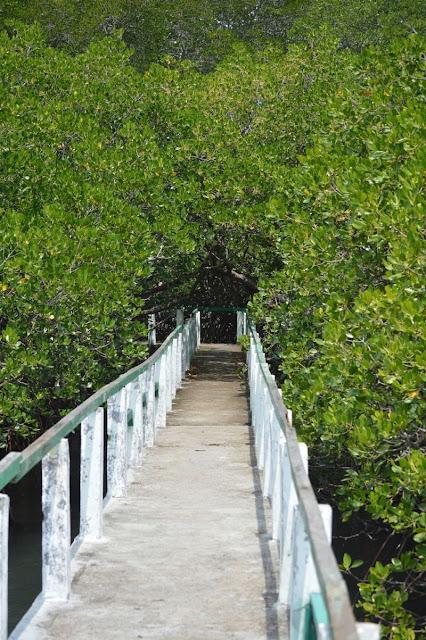 hutan mangrove di Baluran.