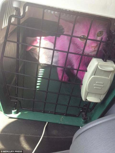 Mèo hồng như iPhone 6s được giải cứu khỏi cuộc sống địa ngục
