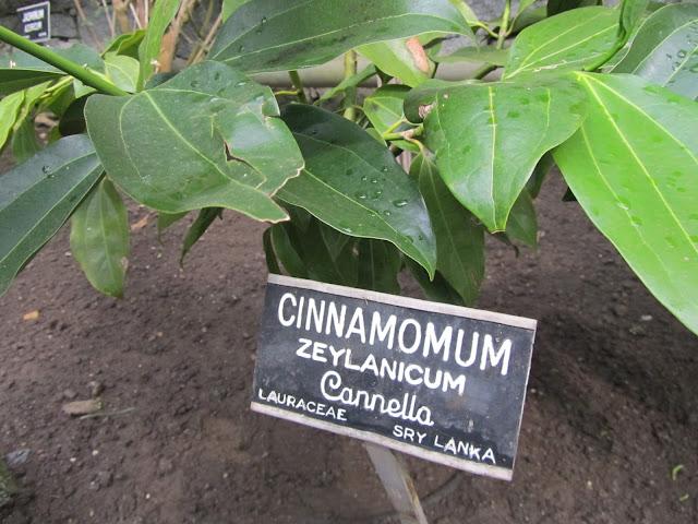 Pianta della Cannella Ceylon