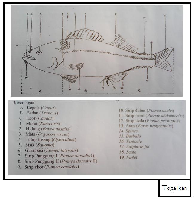 Kabar Terbaru Morfologi Ikan Kabarterbaru Co