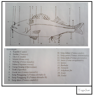 morfologi luar ikan