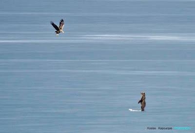 Εκπληκτικές εικόνες: Η μάχη αρκούδας με σπάνιο θαλασσαετό για έναν κύκνο