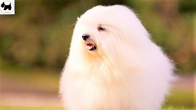 Cutest Dog Breeds, Best Dog, Coton De Tulear Dog