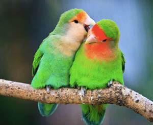 burung lovebird muka salem, lovebird muka salem