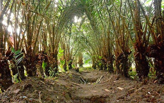 Perkebunan Salak di Desa Pancoh