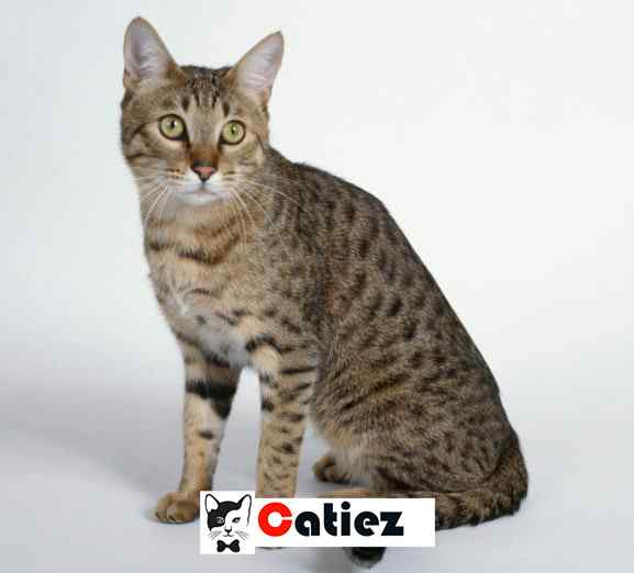 California Spangled cat Breed