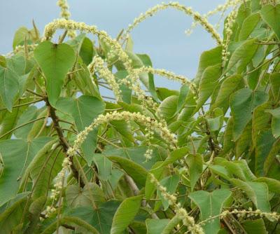 arboles nativos Sangre de drago Croton urucurana