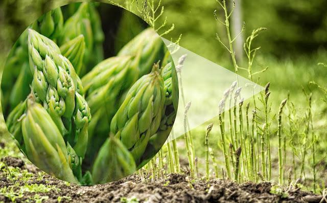 Manfaat Dan Khasiat Sayuran Asparagus Serta Efek Sampingnya