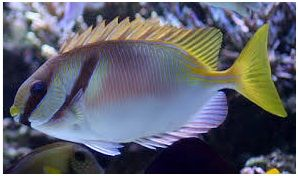 Jenis Ikan Laut Hias Aquarium Rabbitfish