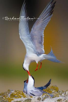 sumru kuşu