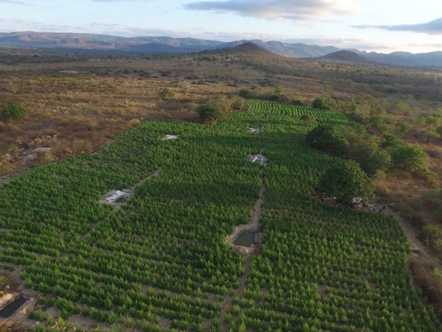 PF destrói 36 mil pés de maconha que tinham até sistema de irrigação em PE