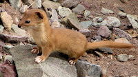 Weasel animal pictures_Mustela