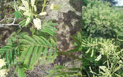 Ñapinday Acacia bonariensis