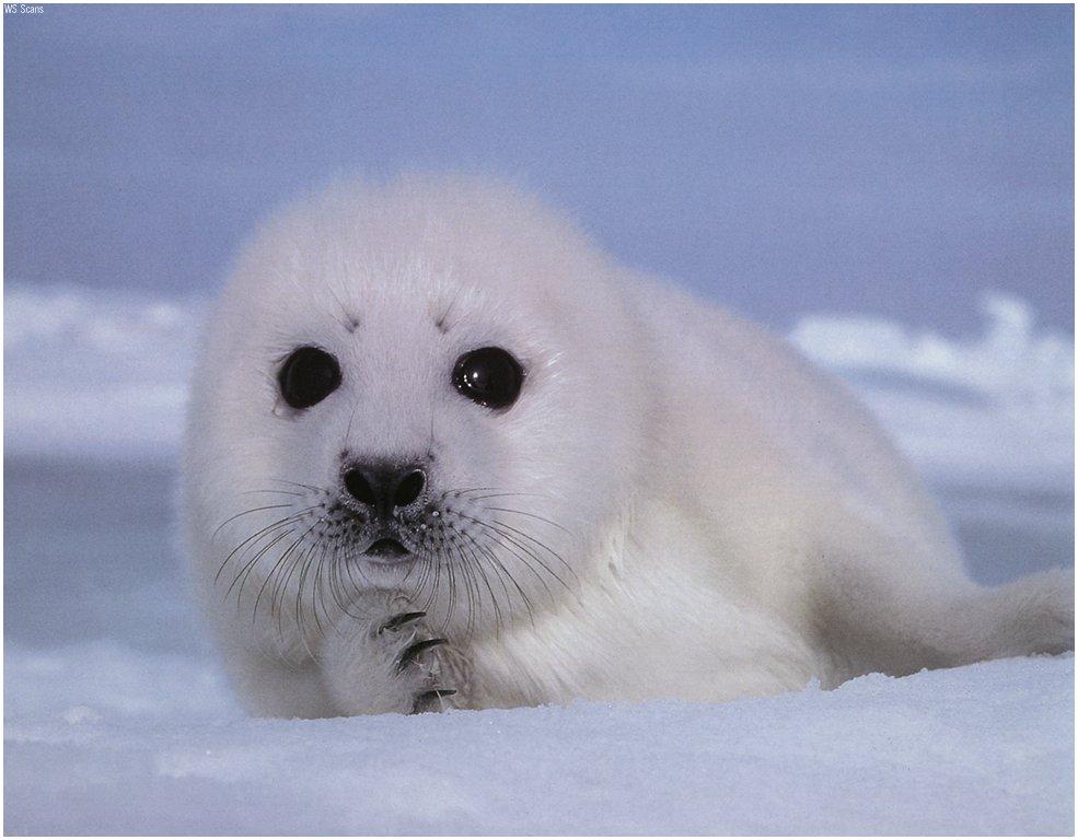 Cute-Baby-Seal.jpg