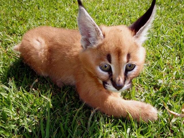 kucing caracal kucing paling eksotis di dunia-10