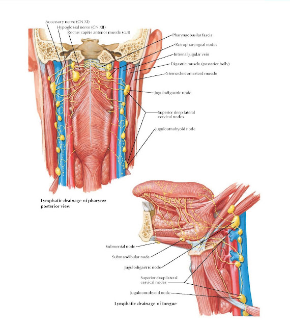 Lymph Vessels and Nodes of Pharynx and Tongue Anatomy