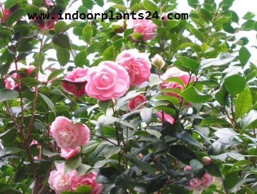 Theaceae Camellia Plant PHOTO