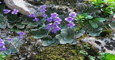 Το λουλούδι του Ολύμπου που δεν υπάρχει πουθενά αλλού