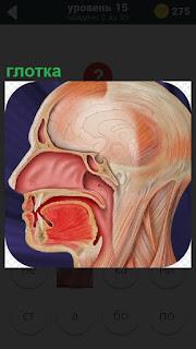 Голова человека в разрезе и показана нахождение глотки внутри