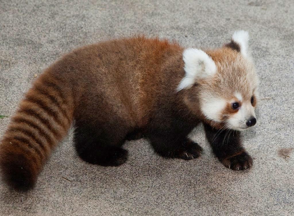 Amazing Creatures 40 Adorable Red Panda Pictures 40 Pics