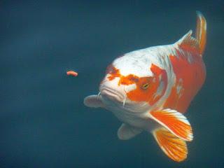 Ketentuan Pemberian Pakan Untuk Ikan Koi Super Pusat Ikan Koi