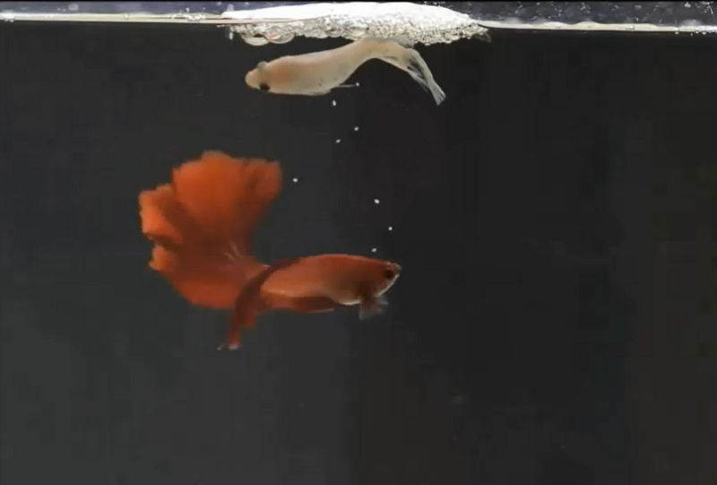 Gambar Cara Ternak Ikan Cupang Tanpa Diberi Pakan Hingga Usia Burayak 3 Minggu