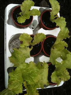gardening, growing, chard