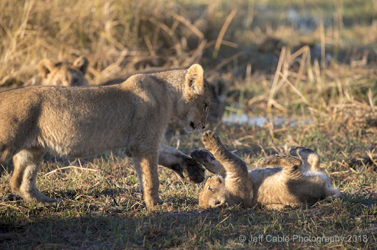Botswana Photo Tour - Lions and their cubs crossing a river