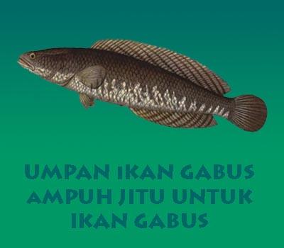 4 Jenis Umpan Ikan Gabus Ampuh Shobatasmo