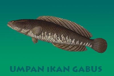 4 Jenis Umpan Ikan Gabus Ampuh
