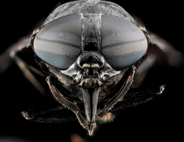 portrait of a horse fly Tabanus atratus, PD, Wikimedia Commons